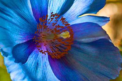 Himalayan Blue Poppy IIi Poster