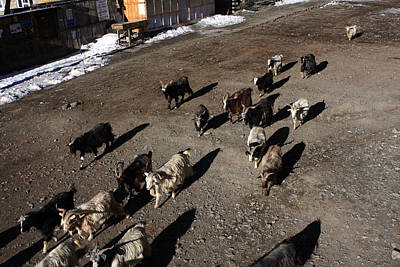 Himalayan Mountain Goats Poster by Aidan Moran
