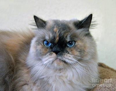 Himalayan Persian Cat Poster by Catherine Sherman