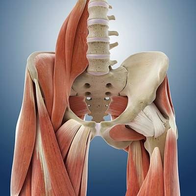 Hip And Thigh Muscles Poster by Springer Medizin