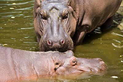 Hippopotamus In Water Poster