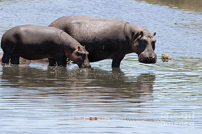 Hippopotamuses Watching A Crocodile Poster