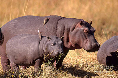 Hippopotamuses With Oxpeckers Poster by Gregory G. Dimijian, M.D.