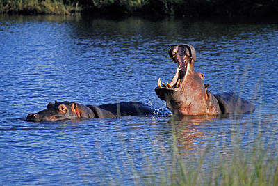 Poster featuring the photograph Hippos by Dennis Cox WorldViews