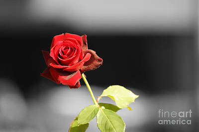 Hiroshima Rose Poster