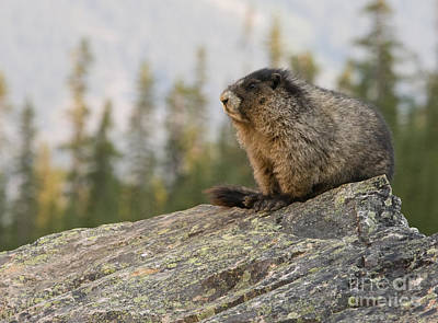 Poster featuring the photograph Hoary Marmot by Chris Scroggins