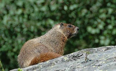 Hoary Marmot Poster by Paul Miller