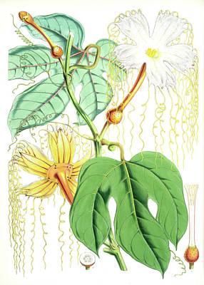 Hodgsonia Heteroclita Poster by Artokoloro