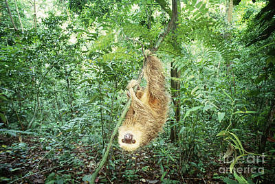 Hoffmans Two-toed Sloth Poster