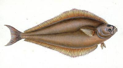 Holibut, Pleuronectes Hippoglossus, British Fishes Poster