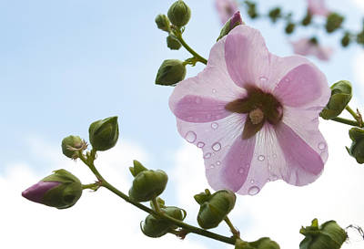 Hollyhock With Raindrops Poster by Lana Enderle