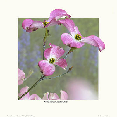Flowering Dogwood - 'cherokee Chief' Poster by Saxon Holt