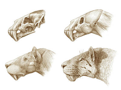 Homotherium Sabre-toothed Cat Poster