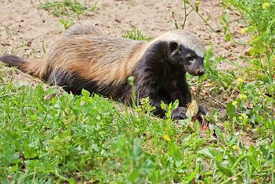 Honey Badger (mellivora Capensis) Poster by Photostock-israel