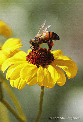 Honey Bee And Brittle Bush Flower Poster