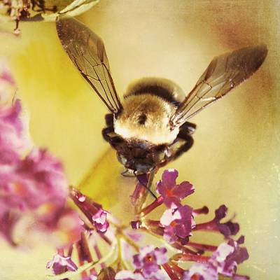 Poster featuring the photograph Honey Bee by Kim Fearheiley
