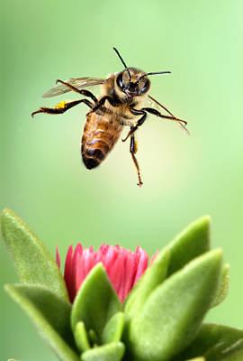 Honey Bee Landing Poster by Robert Jensen