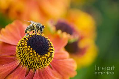 Honey Bee On Helenium Poster
