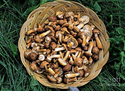 Honey Mushrooms Poster