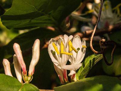 Honey Suckle Buds Blossoms And Vine Poster by Douglas Barnett