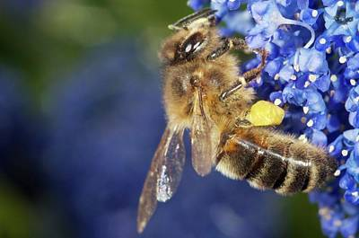 Honeybee Collecting Pollen Poster by Sinclair Stammers