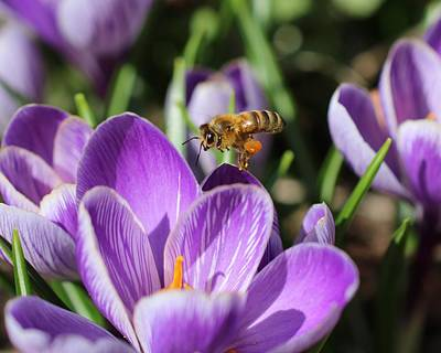 Honeybee Flying Over Crocus Poster
