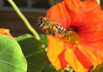 Honeybee Leaving Nasturtium With A Full Pollen Basket Poster
