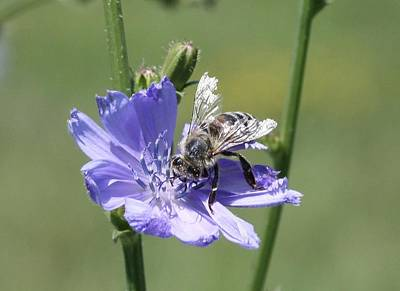 honeybee on Chickory Poster