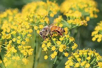Honeybee On Dill Poster
