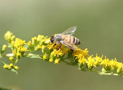 Honeybee On Goldenrod Twig Poster