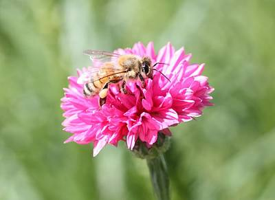 Honeybee On Pink Bachelor's Button Poster