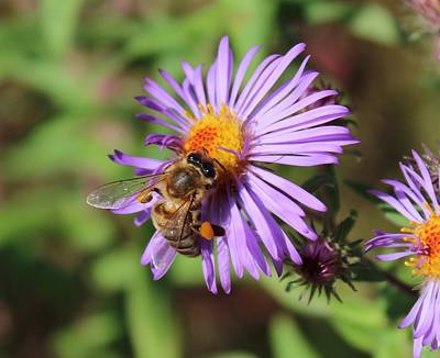 Honeybee On Purple Wild Aster Poster