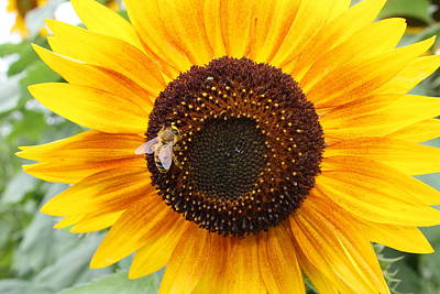 Honeybee On Small Sunflower Poster