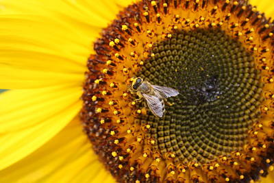Honeybee On Sunflower Poster