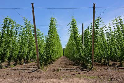 Hops Crop Field In Willamette Valley Poster