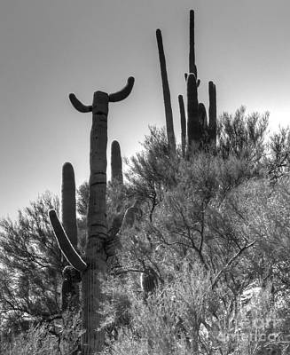Horn Saguaro Cactus Poster