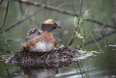 Horned Grebe On Nest With Chicks Poster