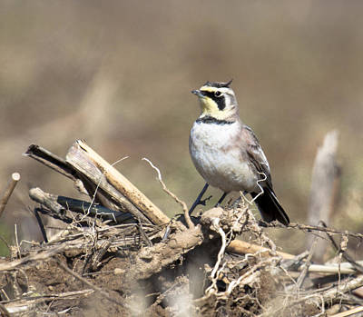 Horned Lark Poster by Deb Henman