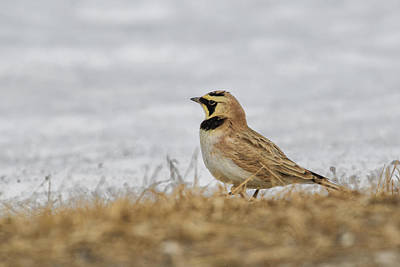 Horned Lark Poster by Gary Hall