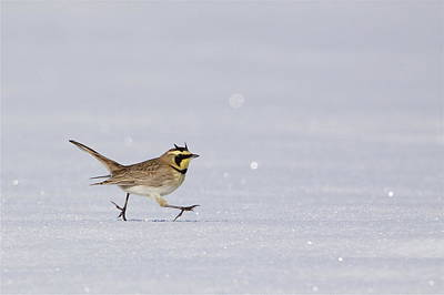 Horned Lark Running Across The Snow Poster by Tom Reichner