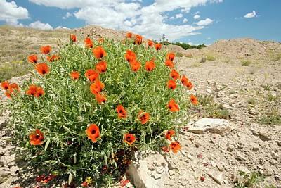 Horned Poppies (glaucium Grandiflorum) Poster