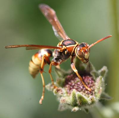Poster featuring the photograph Hornet On Flower by Nathan Rupert