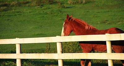 Horse And White Fence Poster