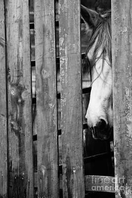 Horse Board 4 Poster by Lynda Dawson-Youngclaus