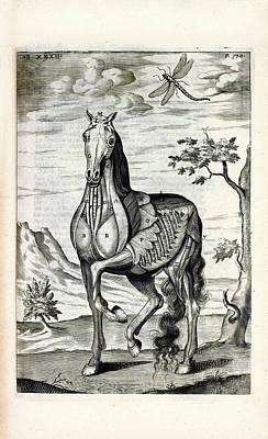 Horse Musculature Anatomy Poster