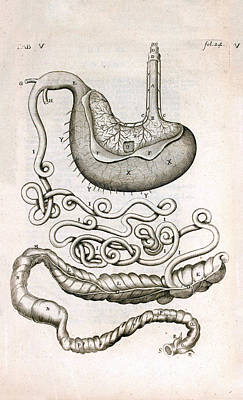 Horse Organ Anatomy Poster
