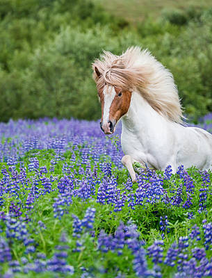 Horse Running By Lupines. Purebred Poster
