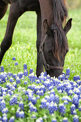 Horse With Bluebonnets Poster