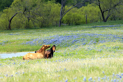 Horses And Bluebonnets Poster by Lorri Crossno