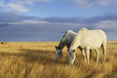 Horses Grazing In Cypress Hills Poster by Peter Carroll